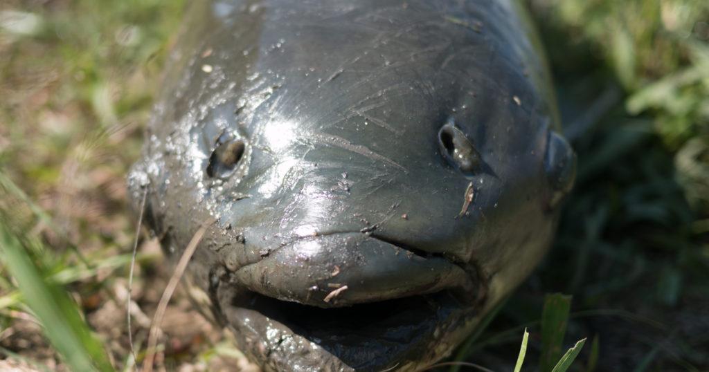 パン鯉してたら超巨大魚ゲット!