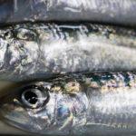 久慈漁港で夕まづめのサビキ釣り短期勝負!